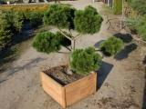 Pinus leucodermis schmidtii