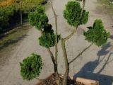 Chamaecyparis gracilis nana